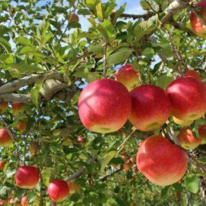 りんご狩り【山口県】徳佐りんご・おすすめりんご園はココ!入園料・持ち物・品種時期をご紹介