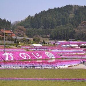 大道理の芝桜【周南市鹿野】棚田と鮮やかな芝桜に心癒される絶景スポット!