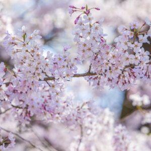 山口県の桜名所2021・見頃はいつ?お花見スポット、開花予想まとめ