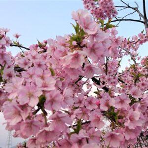 山口県の河津桜や寒桜など早咲きの桜【まとめ】一足早く桜を楽しめるスポットを紹介!!