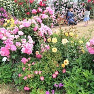 宇部空港のバラ園2021【山口県のバラ名所】開花状況は?1000株の美しい花が咲き誇るスポット!
