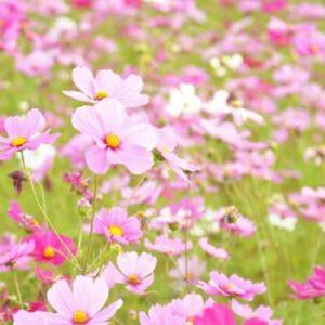山口県のコスモスの名所3選・花と一緒にアサギマダラが見られるスポットも!